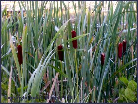 Maine cattails