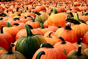 Maine Pumpkin Patches