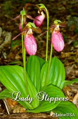 Maine Lady Slippers